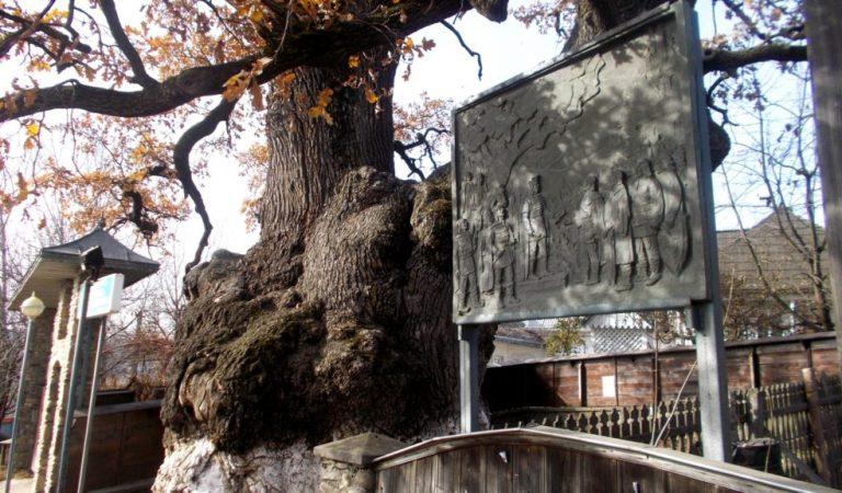 """Votaţi """"Arborele anului în Europa""""! Stejarul sub care s-a odihnit Ştefan cel Mare a ajuns în finala competiţiei"""