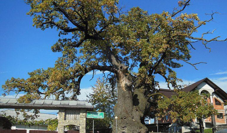 Cel mai bătrân stejar din sud-estul Europei se află în România. O legendă spune că însuși Ștefan cel Mare s-ar fi odihnit la umbra lui.