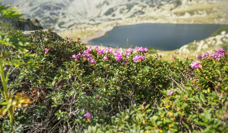 Bujorul de munte, floarea cu miros de vişine ce oferă un spectacol uimitor la începutul verii pe un munte din România