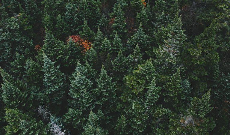 Cei mai înalți copaci din Europa se află în România